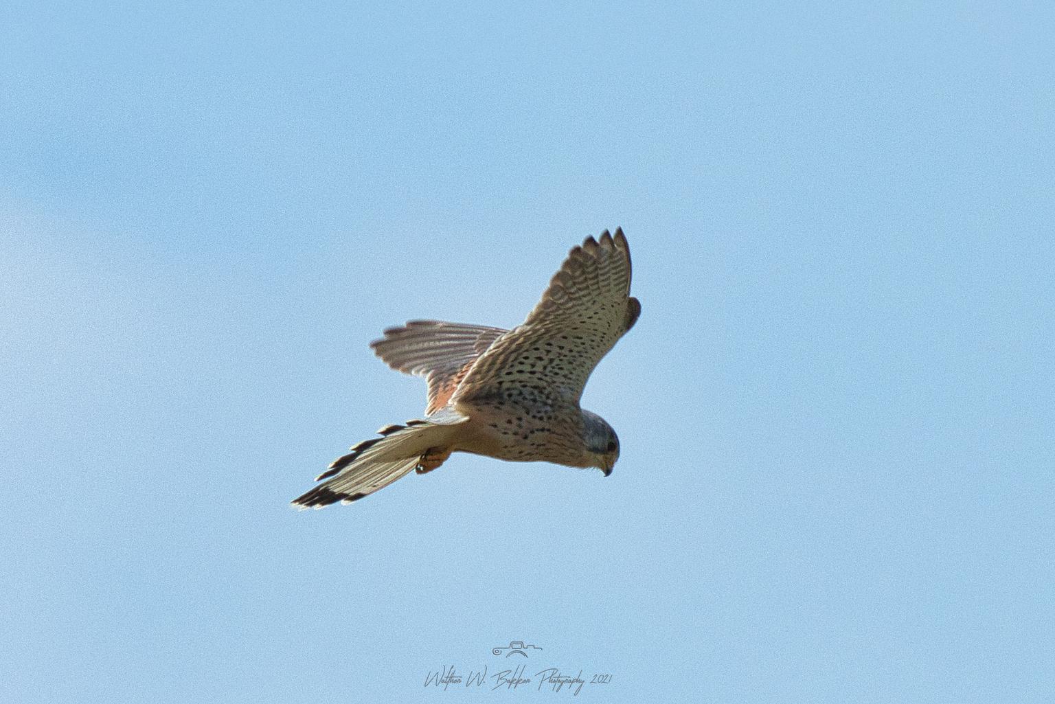 Torenvalk - Een biddend torenvalkje die even later een muis slaat, zie mijn 2e foto. - foto door Waltherwb op 18-04-2021 - locatie: Lutjebroekerweel, 1614 Lutjebroek, Nederland - deze foto bevat: #torenvalk, #vogel, #jacht, lucht, vogel, accipitridae, valk, bek, falconiformes, kiekendief, vleugel, accipitriformes, roofvogel
