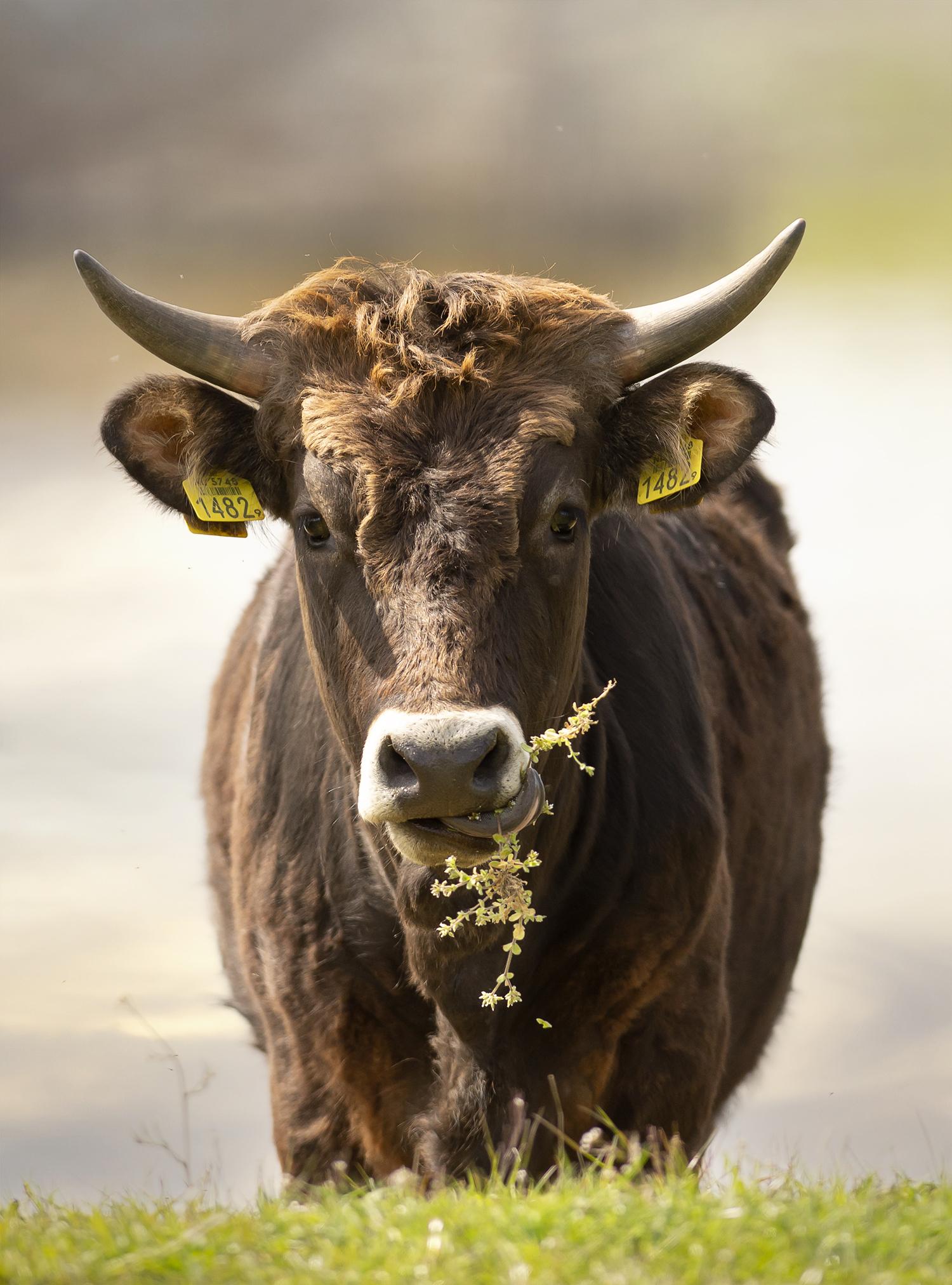1482  - Smakelijk hapje groen 😀 - foto door corinnec op 04-05-2021 - locatie: 5371 RC Keent, Nederland - deze foto bevat: tauros, keent, oornummer, werkend dier, fabriek, gras, natuurlijk landschap, terrestrische dieren, grasland, landschap, hoorn, weide, lucht