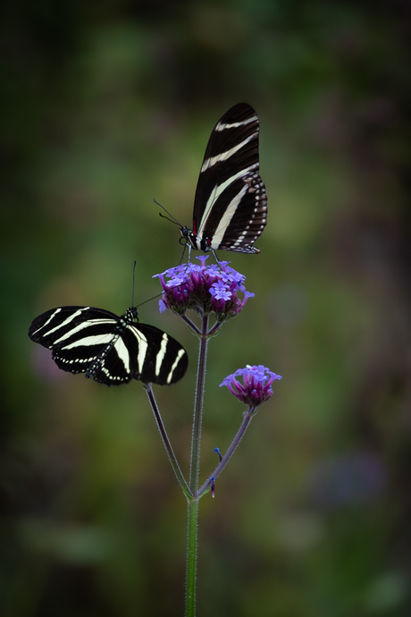 Zebravlinders