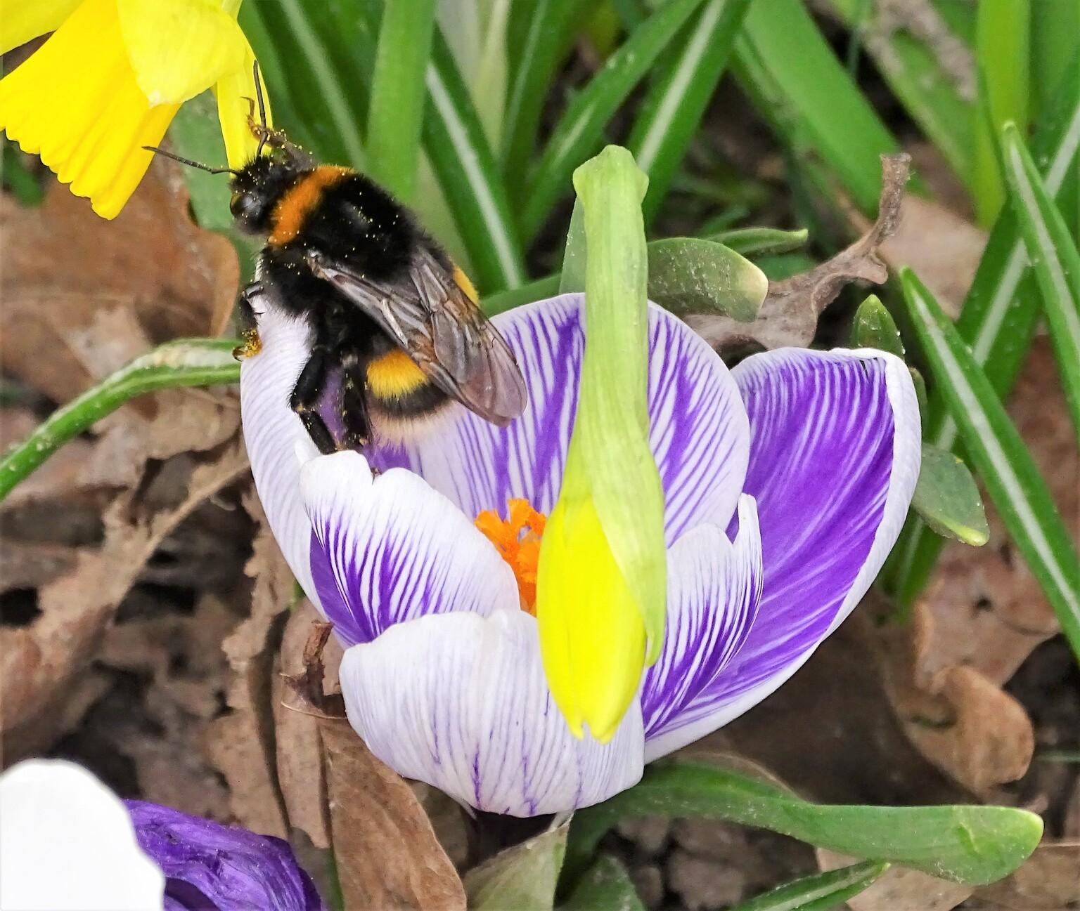 Lente - Krokus met hommel - foto door vandenwijngaart op 14-04-2021 - locatie: 4873 AD Etten-Leur, Nederland - deze foto bevat: bloem, fabriek, bestuiver, insect, plantkunde, bloemblaadje, purper, sneeuwkrokus, organisme, geel
