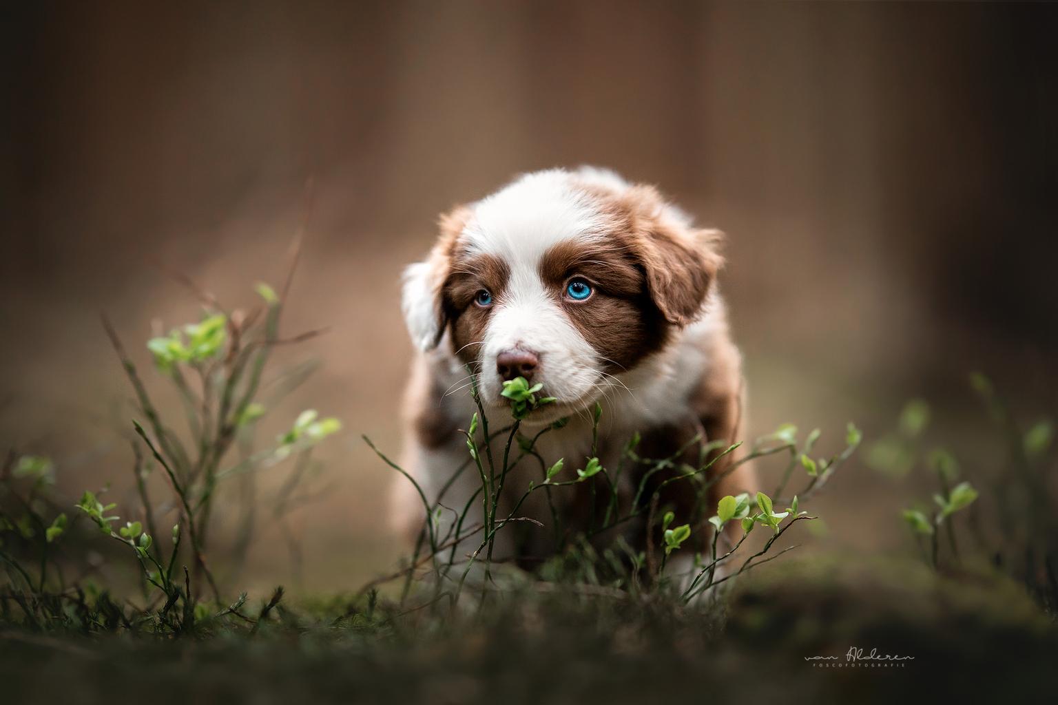 Puppy Sam - Een portret van Australian shepherd puppy Sam snuffelt aan een blaadje. - foto door foscofotografie op 04-05-2021 - locatie: 5081 Hilvarenbeek, Nederland - deze foto bevat: hond, honden, puppy, schattig, lief, natuur, plantje, blauwe ogen, dier, dieren, dierenfotografie, hondenfotografie, portret, canon, sigma, hondenfotograaf, dierenfotograaf, scherptediepte, wazige achtergrond, tegenlicht, dof, hond, fabriek, hondenras, lever, carnivoor, bakkebaarden, metgezel hond, gras, spaniël, verveeld
