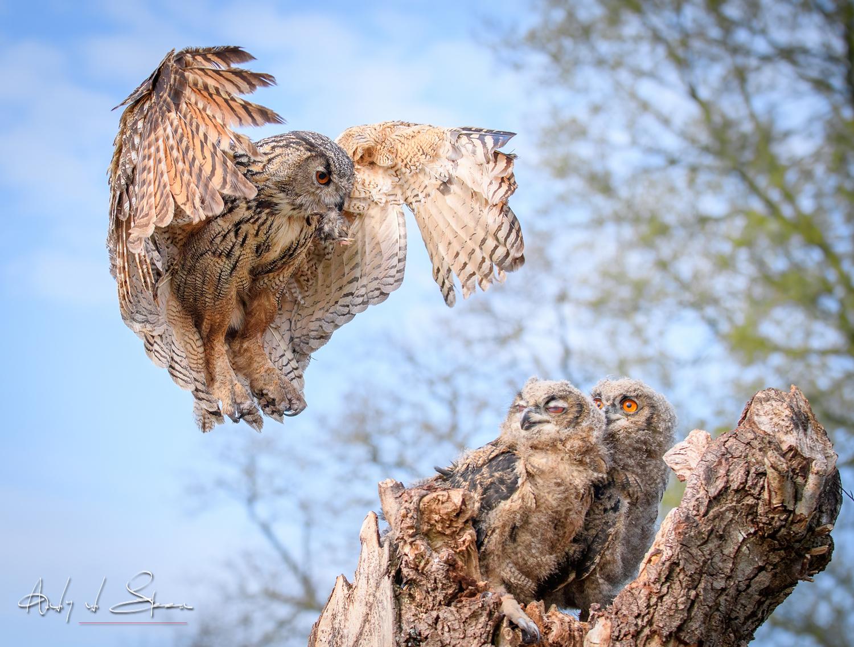 oehoe - oehoe - foto door AndyvdSteen op 30-04-2021 - deze foto bevat: vogel, vogels, uil, uilen, oehoe, uilskuiken, wildlife, natuur, dier, lucht, vogel, gewervelde, bek, natuur, accipitridae, afdeling, hout, organisme, uil