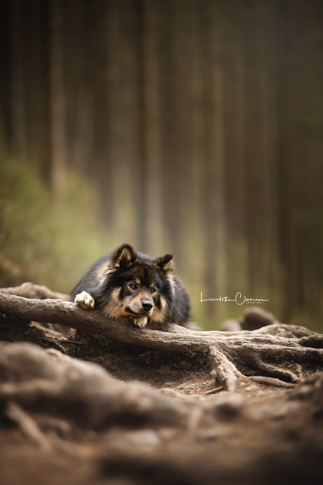 Finse Lappenhond Rhaegal