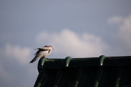 Duif op het dak