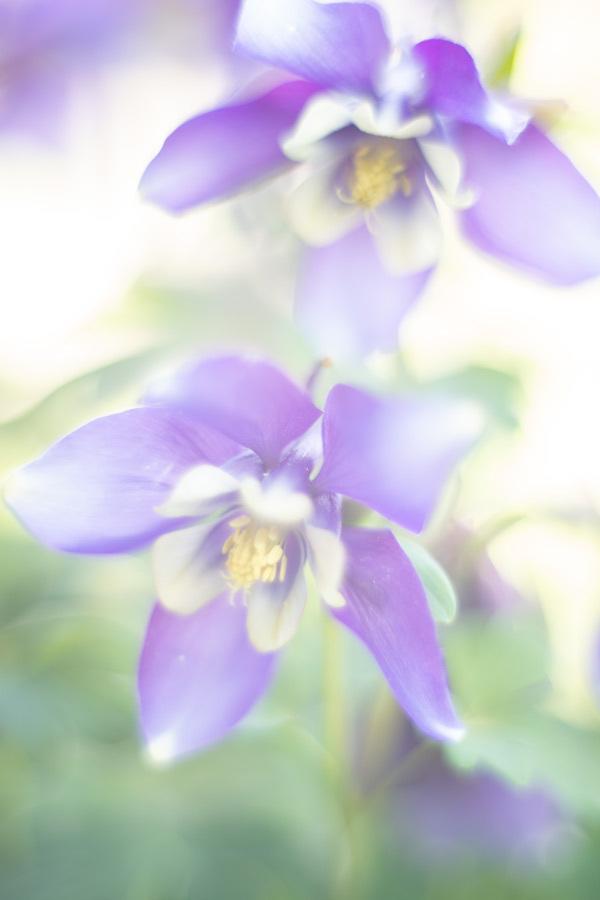 Painting - Even een pot met akelei gehaald bij het tuincentrum. Daarna even geschilderd met de camera. Helios 40 - foto door tineke1 op 16-04-2021 - deze foto bevat: bloem, fabriek, purper, bloemblaadje, terrestrische plant, paars, gras, bloeiende plant, elektrisch blauw, detailopname