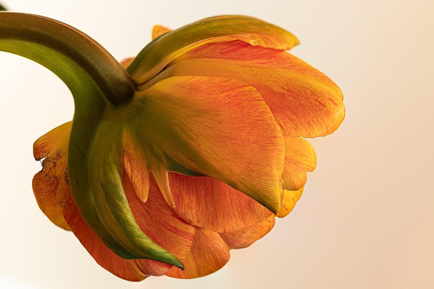 Achterkant van een tulp - De achterkant van een bloem is vaak net zo mooi en interessant als de voorkant... of mooier! - foto door irenas op 14-04-2021 - deze foto bevat: tulp, bloem, close up, kleur, natuur, bloem, fabriek, bloemblaadje, oranje, terrestrische plant, pedicel, detailopname, bloeiende plant, snij bloemen, macrofotografie
