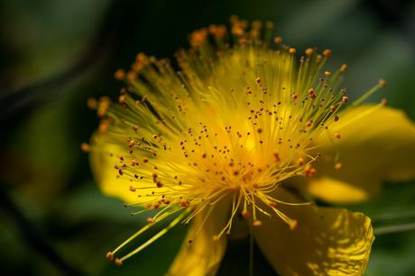 Waldsteinia. gele aardbei
