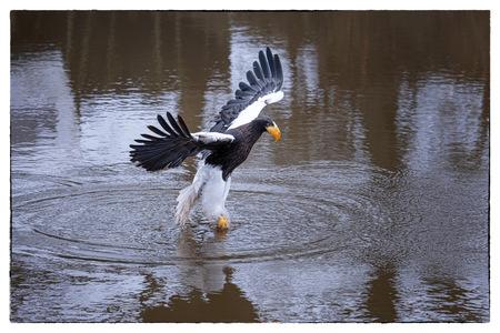 Stellers Zeearend - Stellers Zeearend  grijpt prooi uit het water - foto door Hans Menninga op 10-04-2021 - deze foto bevat: roofvogel, stellers zeearend, water, vogel, natuur, meer, bek, eenden, ganzen en zwanen, watervogels, vleugel, veer, aalscholver
