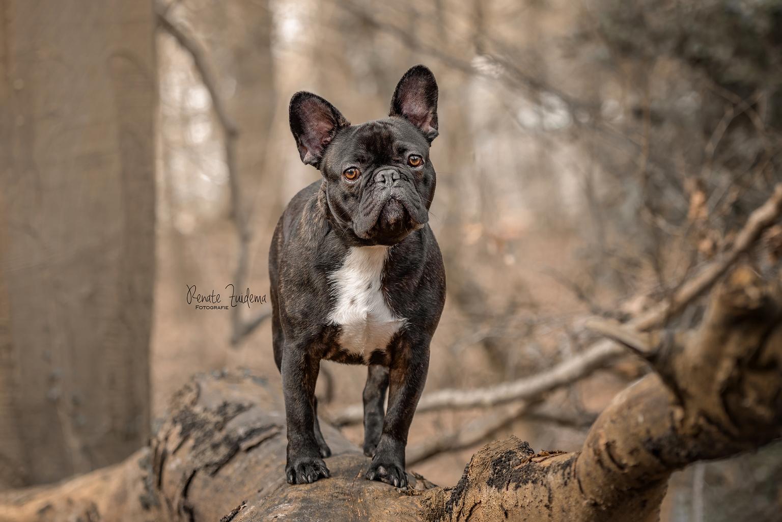 Bumper - Franse Bulldog Bumper, is hij niet vreselijk cute! - foto door RenateZuidemaFotografie op 11-04-2021 - deze foto bevat: franse bulldog, hond, french bulldog, honden, schattig, boomstam, bos, hondenfotografie, dog, hond, carnivoor, hondenras, bakkebaarden, fawn, hout, terrestrische dieren, snuit, bulldog, metgezel hond