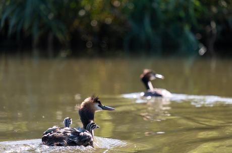 Jonge fuutjes in de Biesbosch