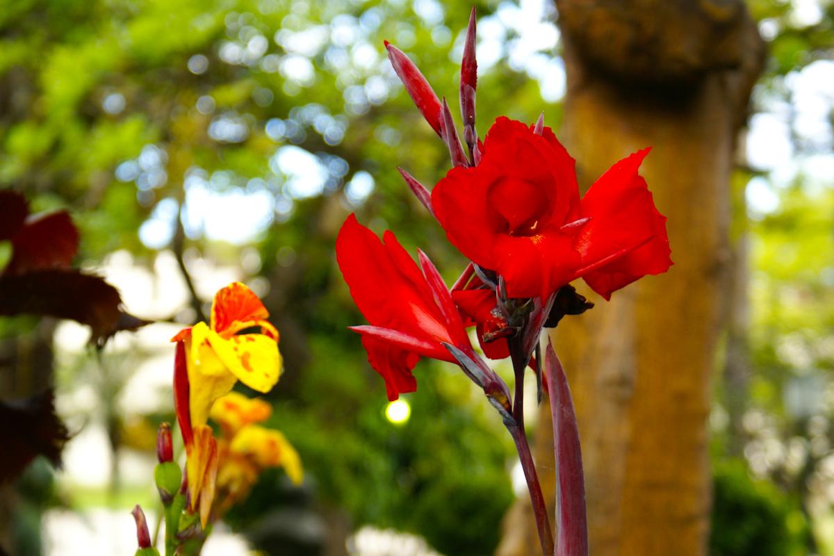 Red - Langs de kant van de weg midden in de stad - foto door Erik-54 op 15-04-2021 - locatie: Funchal, Portugal - deze foto bevat: kleur, bloem, vakantie, portugal, madeira, close up, bloem, fabriek, bloemblaadje, afdeling, terrestrische plant, natuurlijk landschap, takje, kruidachtige plant, gras, rose familie