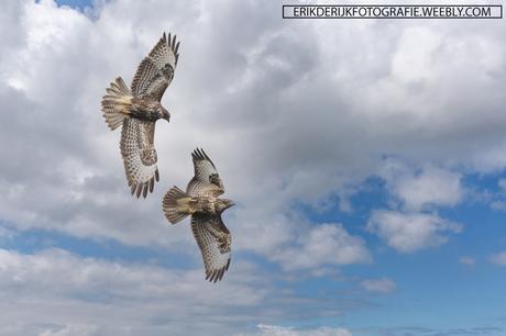 Twee buizerds in vlucht