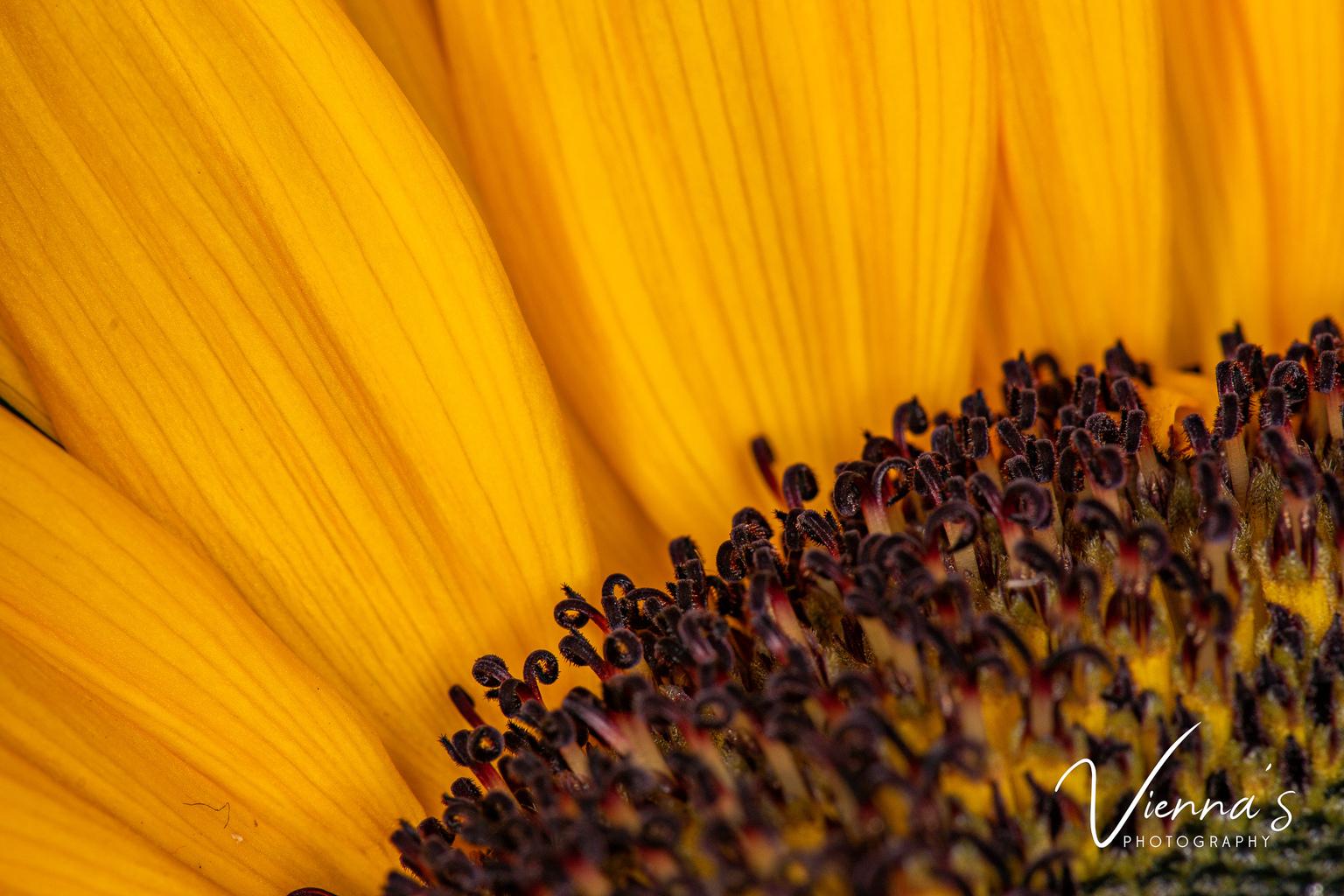 Macro Sunflower - Ieder jaar krijg ik met mijn verjaardag een prachtige bosbloemen vanuit mijn werkgever. Dit is altijd een mooi moment om de macro lens uit de kast te - foto door Vienna op 10-04-2021 - locatie: Krimpen aan den IJssel, Nederland - deze foto bevat: macro, macro photography, sunflower, bloemen, bloem, nikon, bloem, fabriek, bloemblaadje, bloeiende plant, eenjarige plant, detailopname, zonnebloem, macrofotografie, wildflower, stuifmeel