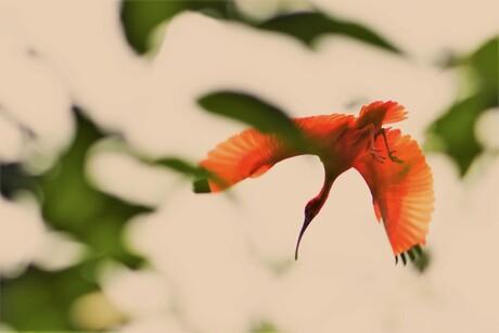 Rode Ibis...