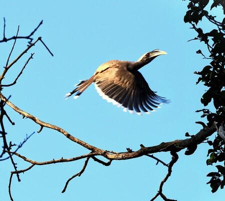 Mijn Reizen  - Deze neushoorn vogel  zag ik  in een boom zitten  kon  gelukkig nog maar net  hem op de plaat zetten .  Er zijn twee soorten  de grote is veel meer g - foto door Stumpf op 11-04-2021 - locatie: India - deze foto bevat: vogel, lucht, gewervelde, bek, afdeling, takje, organisme, veer, aanpassing, staart