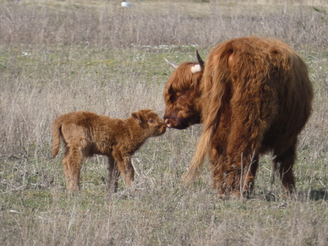 Moeder en kalf liefde