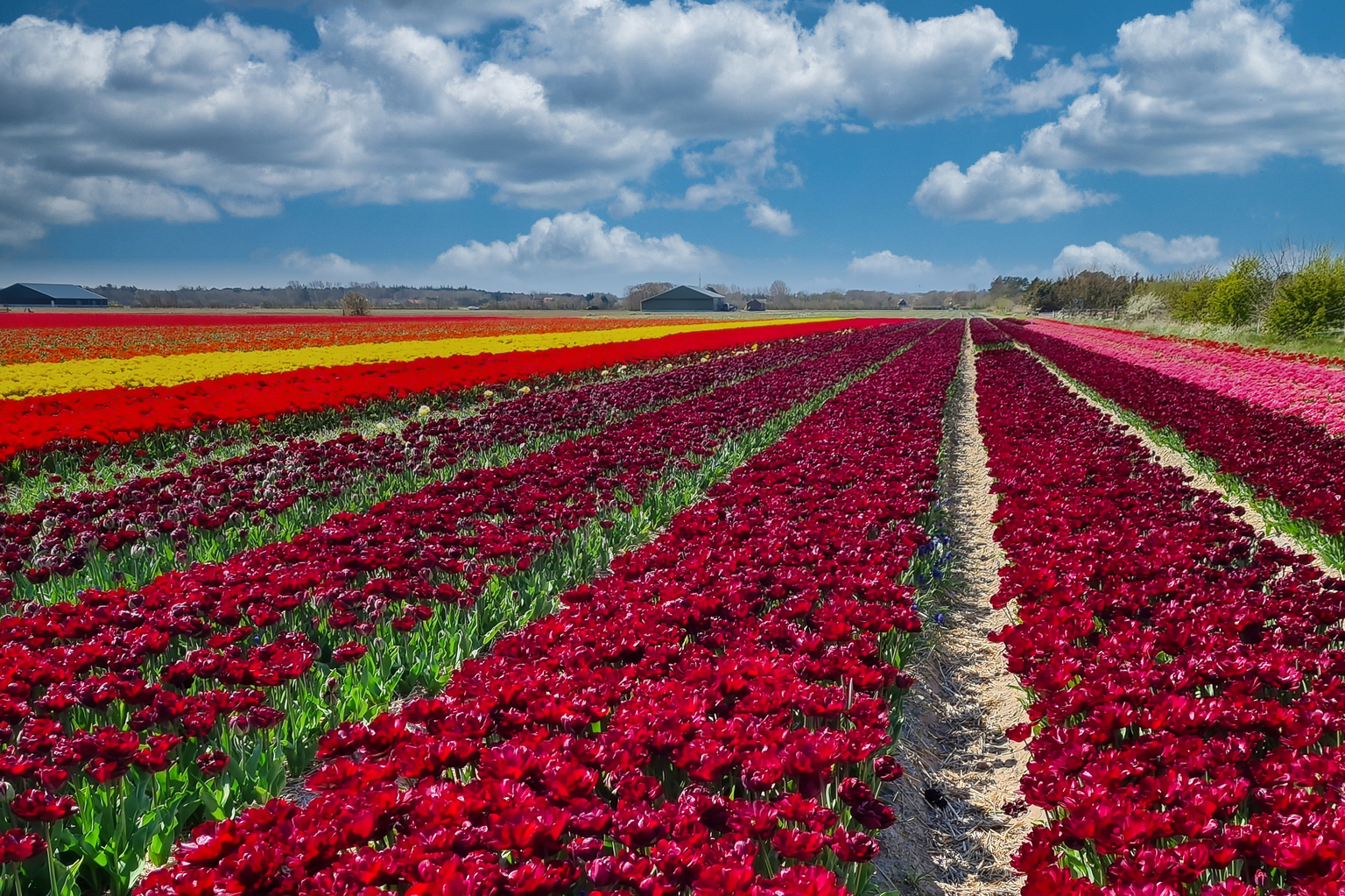 Tulpenvelden - Een dag voor het koppen... Bewerkt in Lumina.  Samsung S20 plus telefoon. - foto door Jolanda555 op 05-05-2021 - locatie: Texel, Nederland - deze foto bevat: bloem, wolk, lucht, fabriek, bloemblaadje, natuurlijk landschap, landbouw, bodembedekker, bloeiende plant, landschap