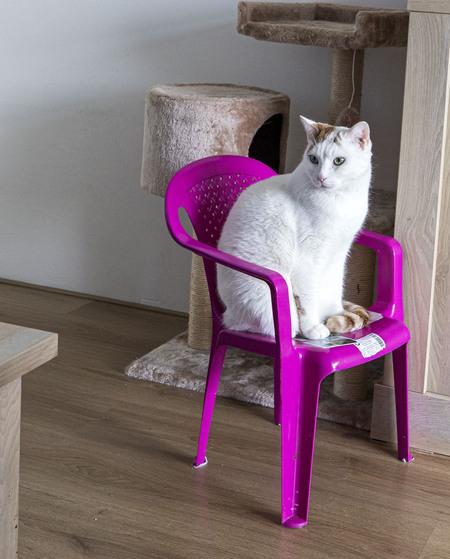 Die stoel is voor mij - Eigenwijze kat - foto door Bladehans60 op 08-04-2021 - locatie: Alkmaar, Nederland - deze foto bevat: huisdier, kat, kat, fabriek, meubilair, purper, stoel, hout, venster, felidae, carnivoor, kleine tot middelgrote katten