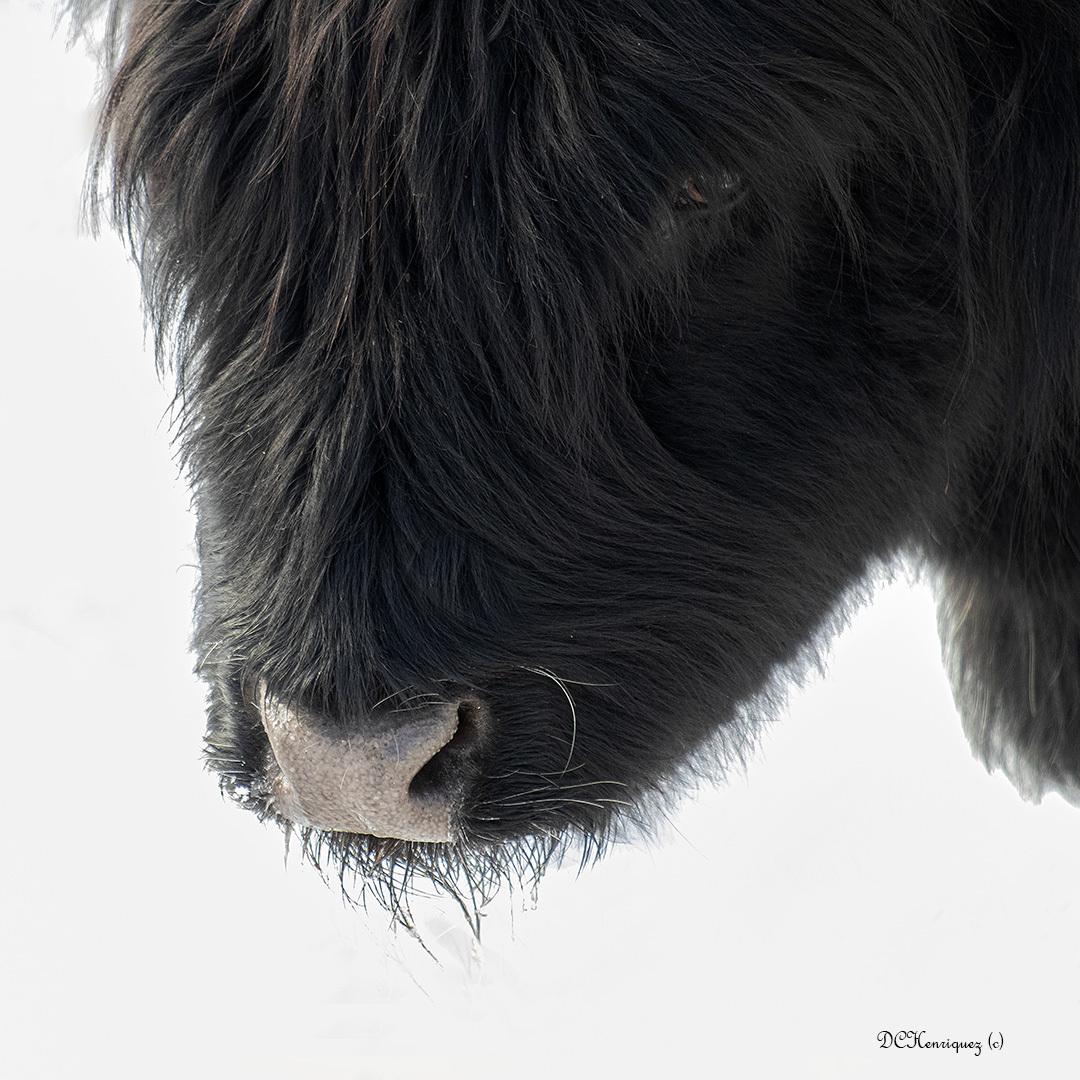 Here is looking at you girl! - Als blikken konden doden....  Iedereen bedankt voor de fijne reacties bij mijn vorige opname.  - foto door Dodsi op 15-04-2021 - locatie: Den Haag, Nederland - deze foto bevat: hooglander, runderen, zoogdier, duinen, grazers, fauna, natuur, ogen, blikken, been, hondenras, werkend dier, bakkebaarden, snuit, staart, terrestrische dieren, sportieve groep, voet, veer