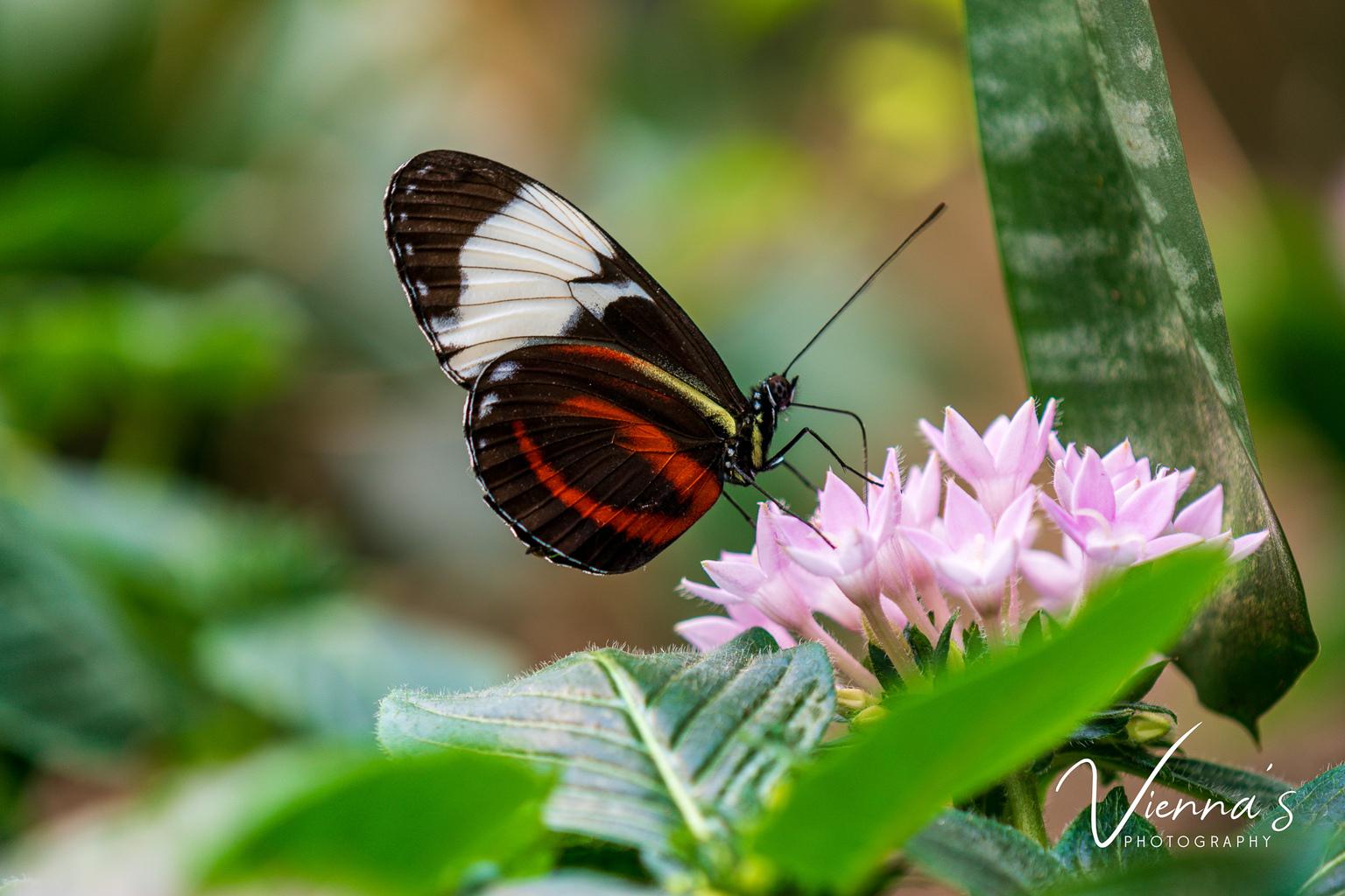 Vlinder (Eresia Lansdorfi) - Tijdens mijn trip in de orchideeënhoeve heb ik mij kunnen vermaken in de vlindertuin. Met als uitkomst deze prachtige foto! - foto door Vienna op 10-04-2021 - locatie: Flevoland, Nederland - deze foto bevat: macro, marco photography, vlinder, butterfly, bloemen, flowers, bloem, fabriek, bestuiver, insect, geleedpotigen, vlinder, motten en vlinders, plantkunde, bloemblaadje, terrestrische plant