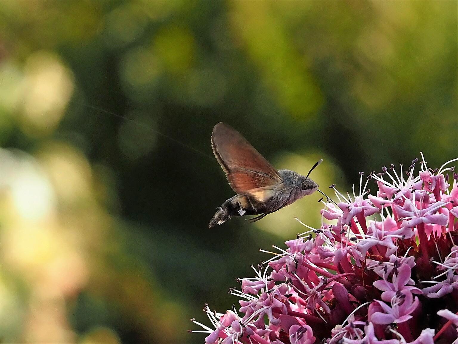 kolibrievlinder snoepend van de pindakaasplant - De Pindakaasplant trekt veel insecten aan, waaronder ook de kolibrievlinder... - foto door bernadette-willemsen op 10-04-2021 - locatie: Duiven, Nederland - deze foto bevat: vlinder, smetterling, natuur, insect, nectar, tuin, pindakaasplant, kolibrievlinder, bloem, fabriek, bestuiver, insect, geleedpotigen, vlinder, motten en vlinders, bloemblaadje, bloeiende plant, vleugel