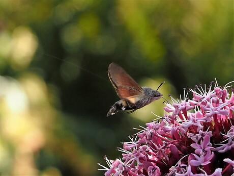 kolibrievlinder snoepend van de pindakaasplant