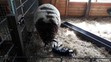 vers - in de kraamstal staan al de schapen en geiten die op het punt staan om te bevallen, vaak gaat het goed, en soms moeten we vooral schapen een handje h - foto door RolandvanTol op 13-04-2021 - locatie: Burgemeester Bruins Slotsingel 11, 2403 NC Alphen aan den Rijn, Nederland - deze foto bevat: schaap, lam, stal, geboorte, gas, snuit, terrestrische dieren, autoband, hek, hout, bodem, vacht, metaal, vee
