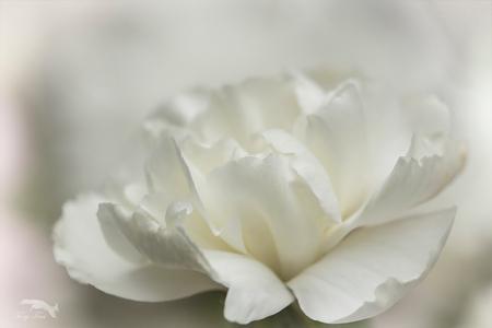 white.... - een lastig kleurtje in het boeketje om vast te leggen,,,,  Gr,Tony - foto door Rohs op 16-04-2021 - locatie: Bakelse Bossen, 5709 Helmond, Nederland - deze foto bevat: bloem, fabriek, bloemblaadje, kruidachtige plant, rose bestelling, rose familie, eenjarige plant, bloeiende plant, terrestrische plant, floribunda