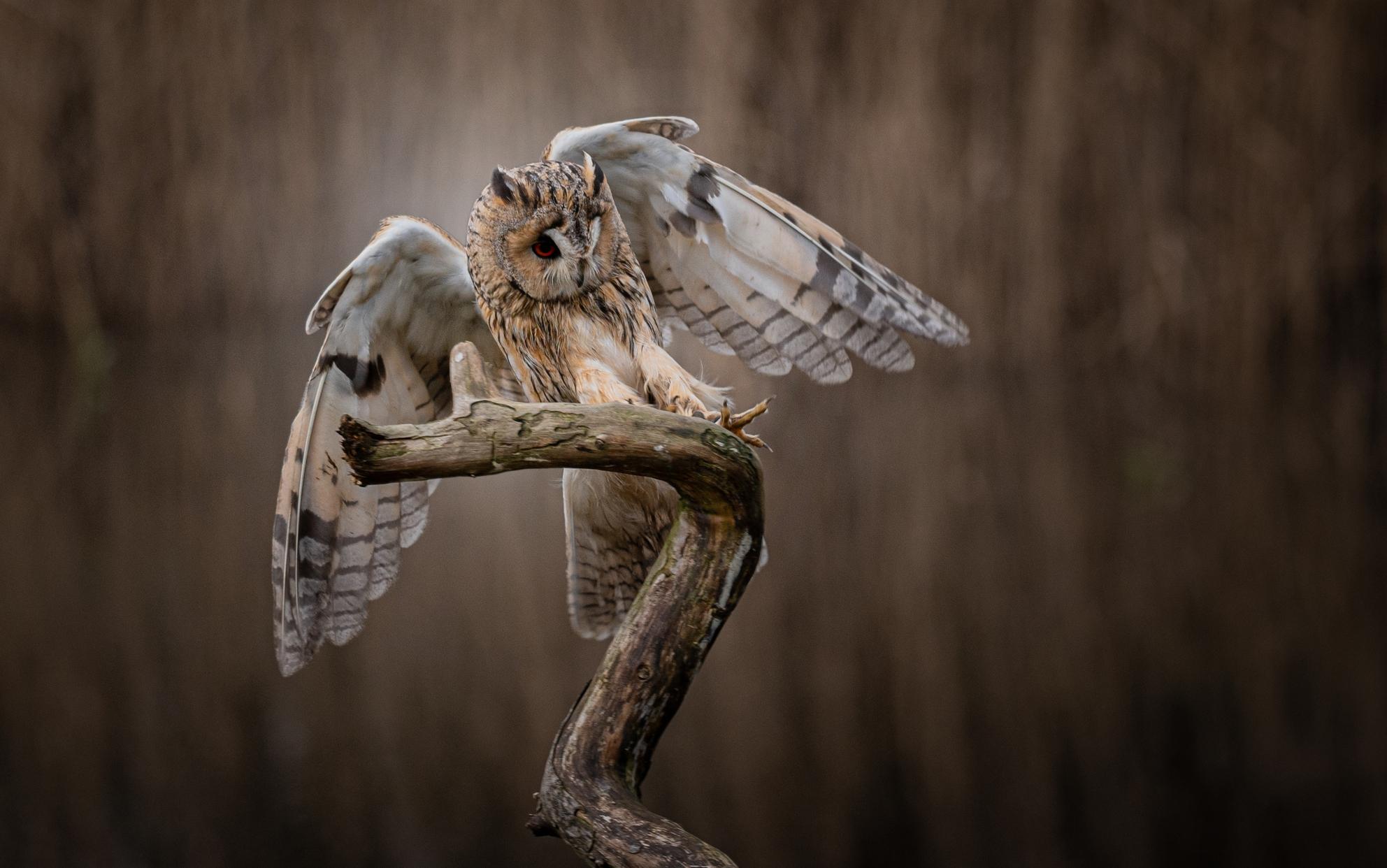 Ransuil - Nice landing - foto door makeuniquefotografie op 08-04-2021 - deze foto bevat: uil, ransuil, bruin, veren, natuur, vogel, roofvogel, vogel, uil, bek, hout, grijs, veer, fabriek, takje, falconiformes, roofvogel