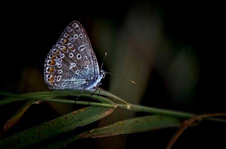 Time to sleep - Blauwtje - foto door Time---traveler op 17-04-2021 - deze foto bevat: bestuiver, insect, vlinder, geleedpotigen, motten en vlinders, terrestrische plant, detailopname, elektrisch blauw, macrofotografie, vleugel