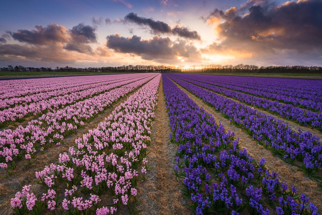 Zonsondergang boven roze en paarse hyacinten - Zonsondergang boven roze en paarse hyacinten. - foto door yeroon86 op 10-04-2021 - locatie: Nederland - deze foto bevat: nederland, holland, bloemen, bloemenveld, roze, paars, hyacinten, jeroen schouten, wolken, zonsondergang, lente, bollenveld, bloem, wolk, lucht, fabriek, ecoregio, natuur, mensen in de natuur, purper, natuurlijk landschap, wiel