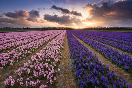 Zonsondergang boven roze en paarse hyacinten