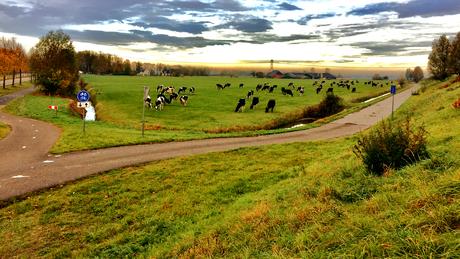 landschap met meerdere koeien