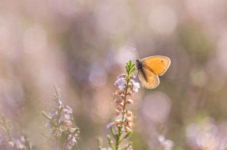 Vlinders op de heide....