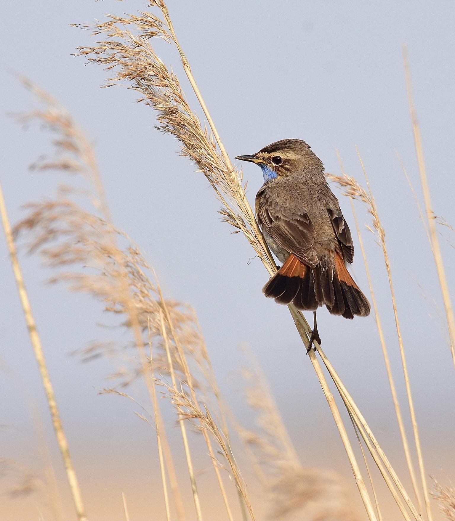 Blauwborst in .. - Blauwborst in de rietlanden..zingt vaak met gespreide roodbruine staart. - foto door AdtenHoopen op 05-05-2021 - deze foto bevat: vogel, lucht, takje, afdeling, bek, veer, zangvogel, grass familie, gras, staart