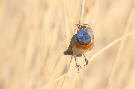 Morning light awakens me - De blauwborst is een prachtige verschijning in de Nederlandse vogelwereld. Op de foto zien jullie een mannetje. Bij het vrouwtje ontbreekt de blauwe  - foto door gaklaasse op 10-04-2021 - deze foto bevat: blauwborst, vogel, morgenlicht, vogel, bek, oostelijke bluebird, veer, takje, zangvogel, elektrisch blauw, vleugel, neerstekende vogel, macrofotografie