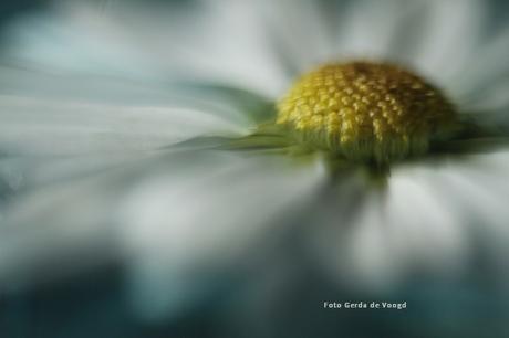 Chrysant macro