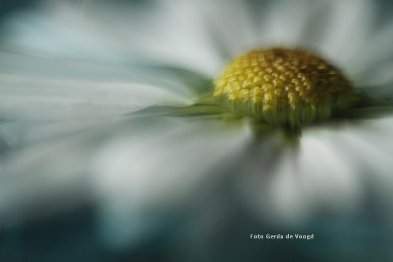 Chrysant macro - Alsof het een schilderij is.. een fototechniek die ik zelf heb ontdekt en verder wil uitbouwen.. - foto door GJ2707 op 10-04-2021 - locatie: Groningen, Nederland - deze foto bevat: bloem, bloemblad, scherptediepte, flower, macrophotography, field of dept, wit, geel, bloem, fabriek, water, bloemblaadje, kamille, detailopname, bloeiende plant, eenjarige plant, stuifmeel, gras
