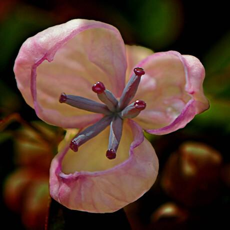 Schijnaugurk (Akebia Quinata)