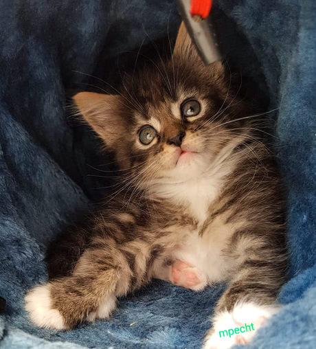 Nala maine coon kitten