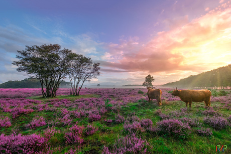 Hooglanders in de Bussumer Heide tijdens zonsopkomst