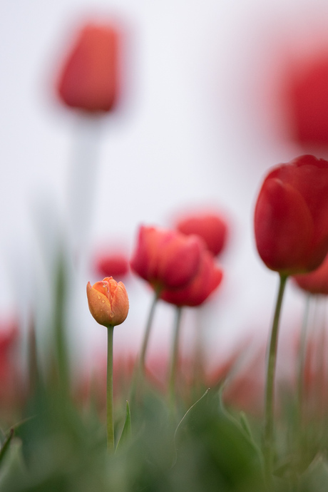 I see some tears on a tulip