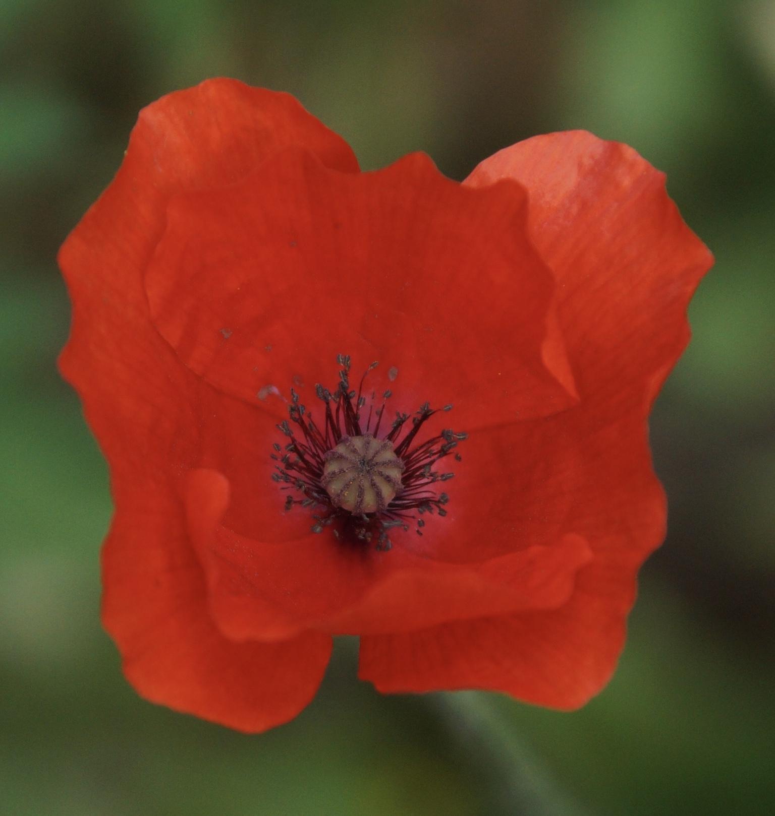 Klaproos - Klaproos - foto door Anneke1955 op 12-04-2021 - deze foto bevat: bloem, fabriek, bloemblaadje, natuurlijke omgeving, plantkunde, kruidachtige plant, bloeiende plant, eenjarige plant, macrofotografie, natuurlijk landschap