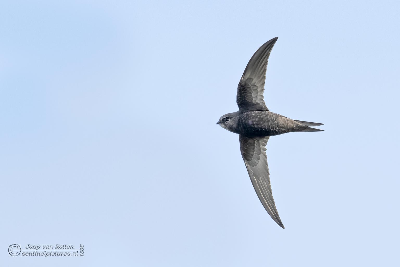 Ze gieren voorbij - Ze zijn er weer, de gierzwaluwen die met hun sikkelvormige vleugels met een noodgang voorbij razen, op zoek naar insecten. Het is altijd weer een uit - foto door Jaap-van-Rotten op 04-05-2021 - locatie: Esumakeech, 9976 VT Ee, Nederland - deze foto bevat: lucht, vogel, bek, vleugel, staart, zeevogel, charadriiformes, vlucht, dieren in het wild, balans