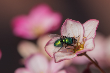 Bromvlieg bezoekt Steenbreek