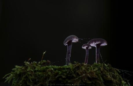 Amethistzwammen by night