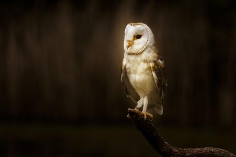 Moody Barn owl