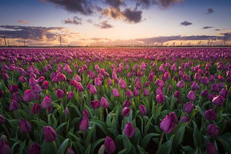 Paars tulpenveld bij zonsondergang