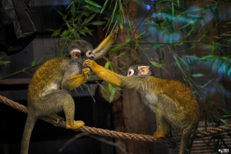 Doodshoofd aapjes