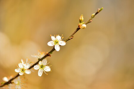 Blossom Delight - De lente ontwaakt, knoppen komen tot bloei, de natuur laat haar kleuren en schooneheid zien. Weg met die winterse koude, het is tijd voor meer warmte - foto door thirzaniemantsverdriet op 11-04-2021 - deze foto bevat: bloem, fabriek, bloemblaadje, takje, terrestrische plant, pedicel, macrofotografie, bloeiende plant, natuurlijk landschap, bloesem